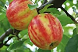 Neuheit! Malus Karneval Apfel Apfelbaum 120-150cm zweifarbig gestreift im Topf