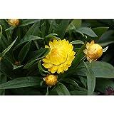 Strohblume 'SUNBRELLA™ Gelb', Bracteantha, gelb - im Topf 13 cm, in Gärtnerqualität von Blumen Eber - 13 cm