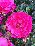 10x Bodendeckerrosen pink Bodendecker winterhart mehrjährig Bodendecker Rosen Rosa Noatraum reich blühende robuste Rose Sommerblüher (10x 1 Liter Topf)