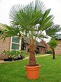 Seltene Palmen Kreuzung Trachycarpus Fortunei/Wagnerianus bis 180 cm. Deutsche Freilandzucht