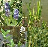 großes Teichpflanzen Komplettset -7- mit Wasserschwaden, Kalmus,Fieberklee, Hechtkraut aus Naturteichen, tolle Ware, nie Wieder Algenprobleme