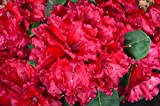Rhododendron Red Jack 40-50 cm im 5 Liter Pflanzcontainer