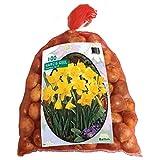 Narcis Geel 100 Stück Osterglocken Narzissen Blumenzwiebel