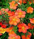 Keland Garten - Raritäten Fingerstrauch 'Red Ace' Bodendecker bienenfreundlich rotorange bis orangegelb, pflegeleicht Baumsamen Blumensamen winterhart mehrjährig