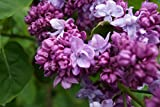 Flieder lila Blüte Edelflieder Katharine Havemeyer Syringa vulgaris Katharine Havemeyer Containerware 40-60 cm hoch
