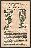 Portulak Geißraute herbal Kräuter Kräuterbuch Lonicer Holzschnitt