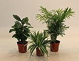 Dominik Blumen und Pflanzen, Indoor-Trio - Kaffee-Pflanze Coffea arabica, Grünlilie Chlorophytum comosum und Zimmerpalme Chamaedorea, Zimmerpflanzen, Kübelpflanzen