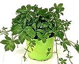 Jiaogulan Pflanze Gynostemma pentaphyllum 'vegetativ durch Steckling vermehrt' Kraut der Unsterblichkeit !