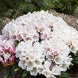 Rhododendron yak. Edelweiß Alpenrose 30-40cm im Topf gewachsen