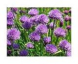 Schnittknoblauch - Schnittlauch - Knoblauch - Allium schoenoprasum - 500 Samen