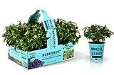 BrazelBerry 'BerryBux' Blaubeere , im praktischen Sixpack , kugelige Buchsbaum-Figur mit zahlreichen kleinen Beeren , Heidelbeere, winterhart , Obst für Garten, Terrasse, Balkon oder Kübel