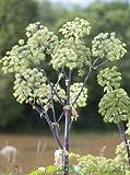 Seedeo Echte Engelwurz (Angelica archangelica) 100 Samen