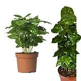 Echte Kaffeepflanze coffea arabica ca. 30cm - pflegeleichter Kaffeestrauch zum selber wachsen lassen, immergrüne Zimmerpflanze, Topfpflanze, Kaffee für Liebhaber
