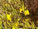 Asklepios-seeds® - 20 Samen Aspalathus linearis, Rooibos-Tee, Rotbusch, Rooibos