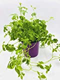 Jiaogulan Pflanze, Gynostemma pentaphyllum, Kraut der Unsterblichkeit, kultiviert aus Stecklingen 1stk. Pflanze