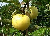 Apfelbaum groß alte Sorte Obst Baum Weißer Klarapfel Baum Busch - in Premium Baumschul Qualität, 120-150 cm, Wuchshöhe bis 400 cm, perfekt für Apfelmus geeignet