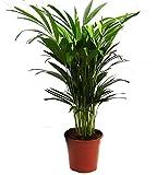 Goldfruchtpalme, Areca Palme, (Areca Chrysalidocarpus) Zimmerpalme, Zimmerpflanze, (ca. 60cm hoch, im 17cm Topf)