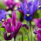 Blumenzwiebeln Zwerg-Iris Mix 'Fraternal Twins' Ø 7/+ - 30 Stück zwiebeln