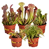 Swampworld Fleischfressende Pflanzen Set - 5 Stück - Venusvliegevalle, Sonnetau und Schlauchpflanze - Topfgröße Ø 9 cm - Pflanzenhöhe 10-20 cm