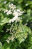 2er-Set - Filipendula ulmaria - winterhart - echtes Mädesüß - Wiesenkönigin, weiß - Landlust Pflanzentipp!