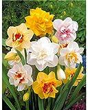 mymotto Blumensamen - 100pcs Multicolor Narzissen Samen Osterglocken Blumensamen Garten Balkon exotische winterharte mehrjährige Pflanzen Blumensamen