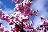 Keland Garten - 10pcs Rarität Japanische Hänge-Nelkenkirsche 'Kiku-shidare-Zakura' bis zu 3-5 m, Kleinbaum Baumsamen Blumensamen mehrjährig winterhart für Garten/Balkon