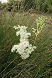 JustSeed Mädesüß, Filipendula Ulmaria, Britische Wildblume, 600 Samen