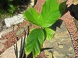 Bio-Saatgut Nicht nur Pflanzen: 1G Größe Rare Iguanura Tenuis MGR; m. Stelze Seed Spezies durch FäHRE
