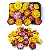 Kunstharz.Art Echte, natürliche getrocknete Strohblumen zum Basteln und als Wohndekoration im Landhausstil