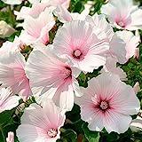Keland Garten - 50pcs Raritäten Maharadscha-Malve Blau/Rosa/Mischung Bechermalven Blumensamen Mischung winterhart mehrjährig Beet- und Schnittblume