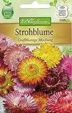 Chrestensen Strohblume 'Großblumige Mischung'