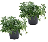 zwei Pflanzen Kraut der Unsterblichkeit (Jiaogulan) 12cm Topf