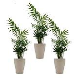 Zimmerpalmen-Trio mit Keramik-Blumentopf 'Orchid cream' von Scheurich - 3 Pflanzen  und 3 Deko-Töpfe