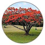 Japanischer Roter Ahorn - Ca. 50 Samen - Baum & Bonsai Geeignet - Acer Palmatum Atropurpureum - Exotisch