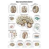 """Lehrtafel """"Das menschliche Gehirn"""" deutsch, 70x100cm, Kunstdruckpapier"""