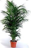 Die schönste Zimmerpalme der Welt! Goldfruchtpalme 'Areca-Palme (Dypsis lutescens)' Anspruchslos von jedermann zu pflegen 1 Pflanze 110-130 cm.