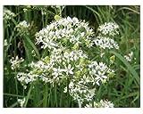 Chinesischer Schnittknoblauch - Chinesischer Schnittlauch - Allium tuberosum - 200 Samen