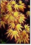 Coorun 20 Stücke/Paket 6 Sorten Ahron Bonsai Samen importiert Blauahorn japanischer Goldahorn Regenbogen Ahorn amerikanischer Rotahorn Grünahorn Schmettling Ahornbaum für Garten Wohnzimmer