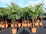 JH Grünwaren XXL Palme winterhart 180 cm Trachycarpus fortunei, Hanfpalme, Top-Qualität