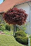 Acer platanoides Crimson Sentry Blut-Ahorn rotlaubig auf Stamm verschiedene Größen (Stammhöhe 80 cm)