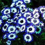 Tomasa Samenhaus- Seltene blaue Gänseblümchen Samen Blumen saatgut winterhart mehrjährig Blumensamen für Garten Balkon