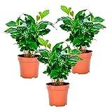 "Coffea arabica ""Nana"" | 3er-Set Kaffeepflanze | Arabica-Kaffee | Höhe 25-30 cm | Topf-Ø 12cm"
