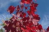 Rot-Ahorn Ac. rubrum Pflanze 55-60cm Scharlach-Ahorn Sumpf-Ahorn Ahorn