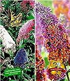 BALDUR-Garten Sommerflieder-Sortiment Buddleia 'Papillion Tricolor' und 'Flower-Power® Schmetterlingsflieder Schmetterlingsstrauch Zierstrauch, 2 Pflanzen Buddleja