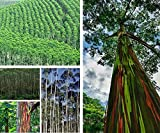 Selten Exotische Eucalyptus Deglupta Baumsamen, Mehrjährig Winterhart Regenbogenbaum Saatgut Schnelles Wachstum