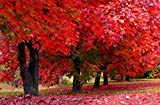 50 Stück amerikanische rote Ahorn-Samen, Zierbonsai-Samen für den Garten, einfach zu züchten, seltene Baumsamen Show In Picture rot