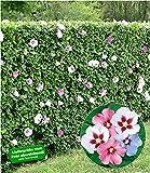 BALDUR-Garten Hibiskus-Hecke, 5 Pflanzen, Hibiscus Syriacus Heckenpflanzen blühend