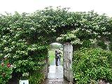 Kletterhortensie 70 cm Hydrangea petiolaris Kletterpflanze Hortensie