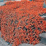 Beautytalk-Garten 100Stück Felsenkresse Samen Winterhart Bodendecker Thymian-Kollektion Seltene Wildblumensamen 14Farben Klettepflanzen Landschften Samen