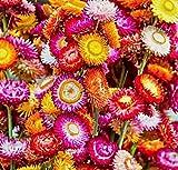 500 Samen Zwerg Strohblume'Tom Thumb', Helichrysum bracteatum, bunte Mischung, ideal auch für den Balkon
